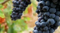 Wine Grapes HD Footage