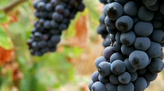 Wine Grapes - stock footage