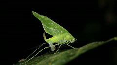 Female katydid with a spermatophore attached after mating Stock Footage