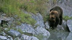 Grizzley Bear near water P HD 7499 Stock Footage
