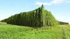 Hops field in the wind - stock footage