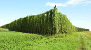 Hops field in the wind Stock Footage