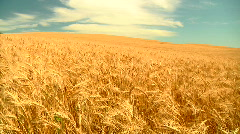 Wheat before harvest Stock Footage