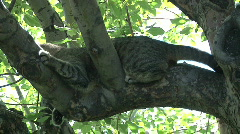 Silver Tabby Cat with Black Tiger Stripes Hiding in Leafy Tree Stock Footage