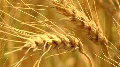 Head of Wheat Stock Footage