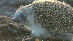 Hedgehog in wood. Summer. Stock Footage
