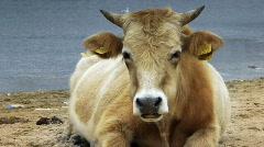 Dairy cow (Bos taurus) eating grass near lake  Stock Footage