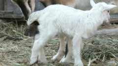 Goat and kid. Summer. A farm. Stock Footage