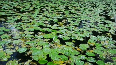 Water lilies - lots of - waving Stock Footage