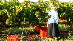 Vineyard vintage in Israel at sunrise Stock Footage