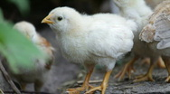 Hen and chickens Stock Footage
