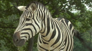 Stock Video Footage of zebra 04