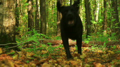 Black labrador playing in autumn forest Stock Footage