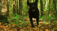 Stock Video Footage of black labrador playing in autumn forest