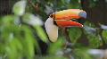 Brazilian toucan - Natural Habitat. Rio de Janeiro, Brazil.  Footage