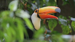 Stock Video Footage of Brazilian toucan - Natural Habitat. Rio de Janeiro, Brazil.