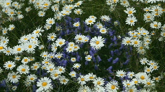 Daisy and Blue Bell flowers P HD 8425 Stock Footage