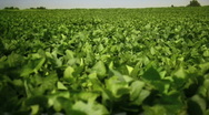 Stock Video Footage of Soy Farm