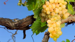 Stock Video Footage of Grapes for wine