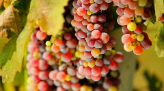 First-class grapes Stock Footage