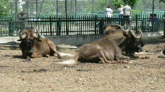 Two musk-oxen in an open-air cage in a zoo in Moscow, Russia Stock Footage