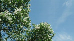 White and lilac lilac against the summer sky. Stock Footage