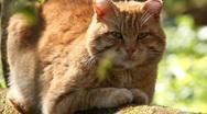 Cat, a portrait Stock Footage