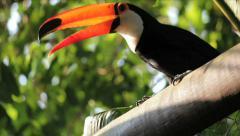 Brazilian toucan. Zoo of Brazil. Ramphastos toco bird. Tucano Stock Footage