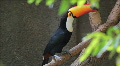 Brazilian toucan. Zoo of Brazil. Ramphastos toco bird. Tucano Footage