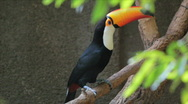 Brazilian toucan. Zoo of Brazil. Ramphastos toco bird. Tucano Stock Footage