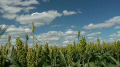 Sorghum Crop Time Lapse Stock Footage