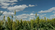 Stock Video Footage of Sorghum Crop Time Lapse