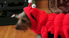 dog in costume - stock footage