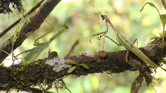 Preying mantis courtship Stock Footage