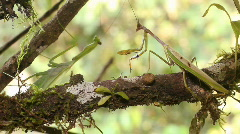 Preying mantis courtship - stock footage