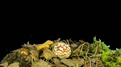 Time-lapse of growing fly agaric mushromm 7 with  alpha matte Stock Footage