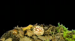 Time-lapse of growing fly agaric mushromm 7 with  alpha matte (720p) Stock Footage