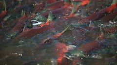 Stock Video Footage of Spawning of a salmon. The red salmon.