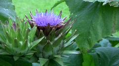 Artichoke plant with Flower Stock Footage