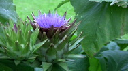 Artichoke plant with Flower Stock Footage