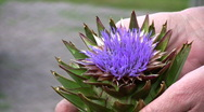 Stock Video Footage of Artichoke Flower