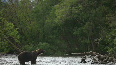 Brown bear. Expectation of fish. - stock footage