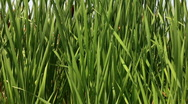 Green leaves of reeds panorama closeup Stock Footage