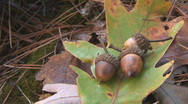 Stock Video Footage of Fall Acorns
