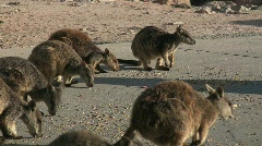Group of wallabies feeding Stock Footage
