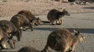 Stock Video Footage of Group of wallabies feeding