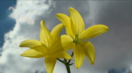 Yellow Flower Sky Time Lapse Stock Footage