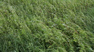 Stock Video Footage of Alfalfa Field Walk