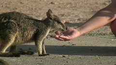 A wallaby eats from hand Stock Footage