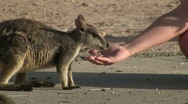 Stock Video Footage of A wallaby eats from hand